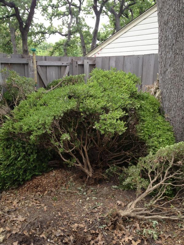 bushes 4